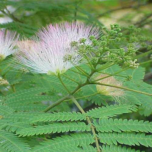 Shareen (Silk Plant,Albizia)