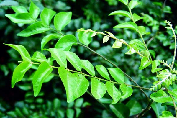 Curry Tree: Cultivation and Medicinal Uses