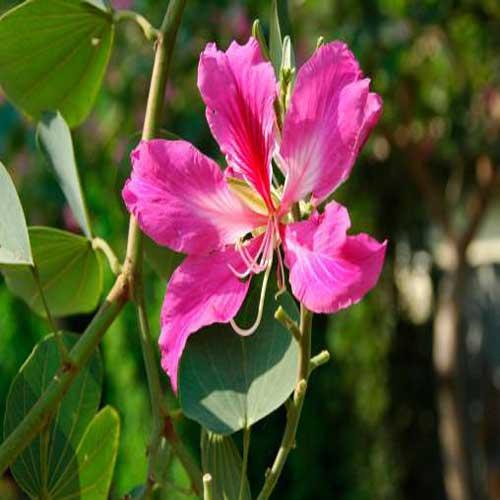 Kachnar (Bauhinia variegata)