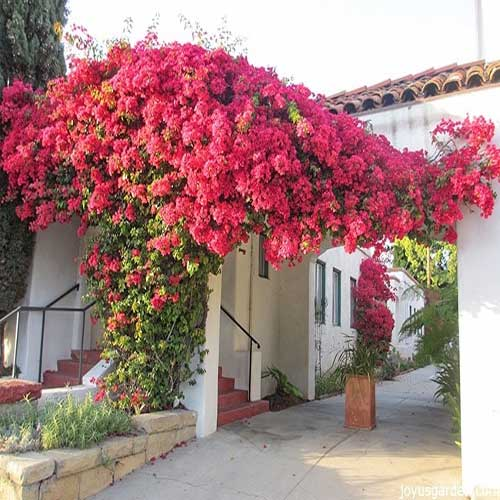 Bougainvillea (Pink and Whte) - Plant
