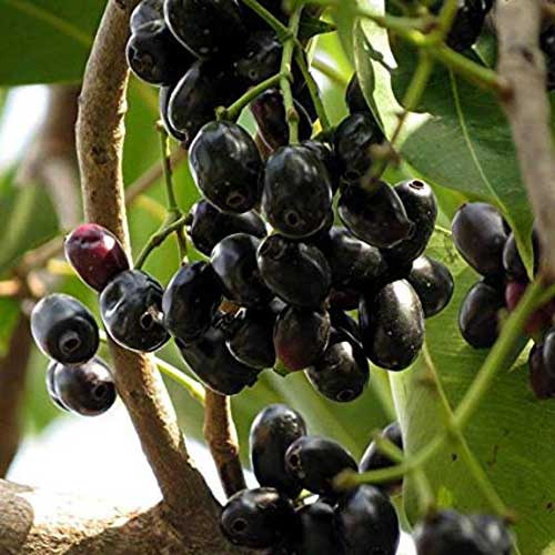 Jamun | Syzygium cumini