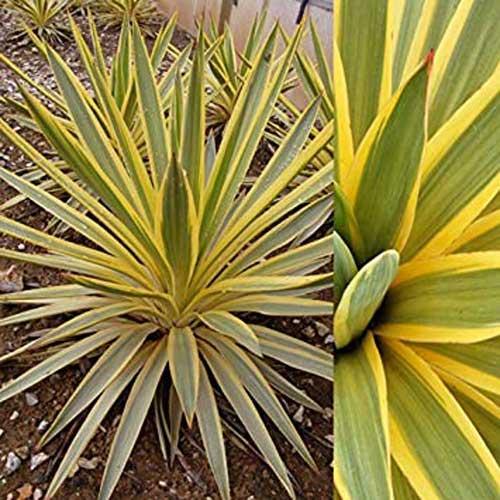 Star yucca