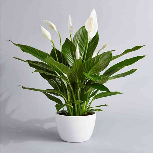 Indoor Plants : Peace lily