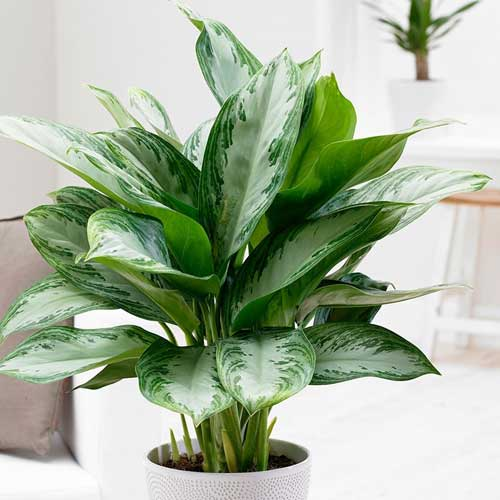 Indoor Plants : Chinese evergreen