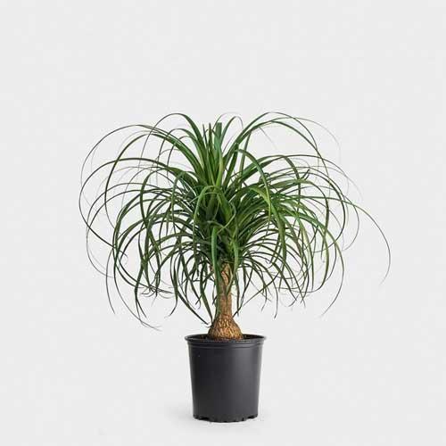 Indoor Plants : Pony tail