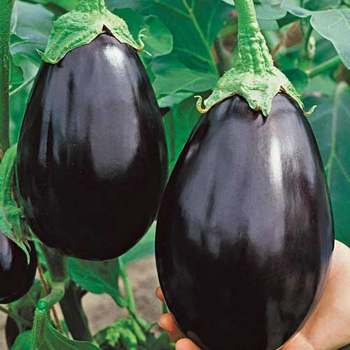 Vegetable Seeds : Brinjal