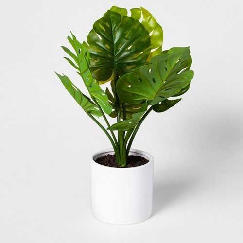Indoor Plants : Monestra