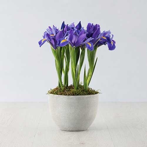 Indoor Plants : Iris