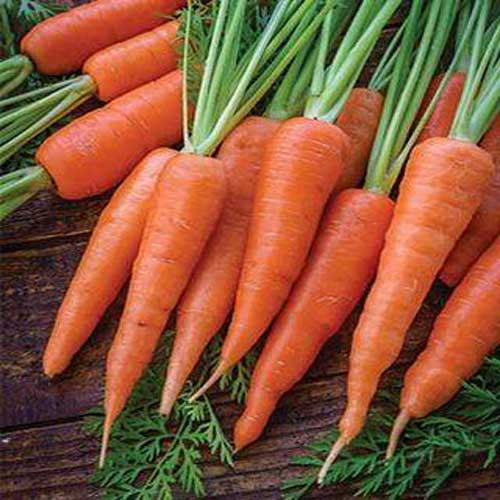 Vegetable Seeds : Carrot