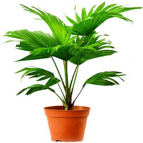 Indoor Plants : Table palm