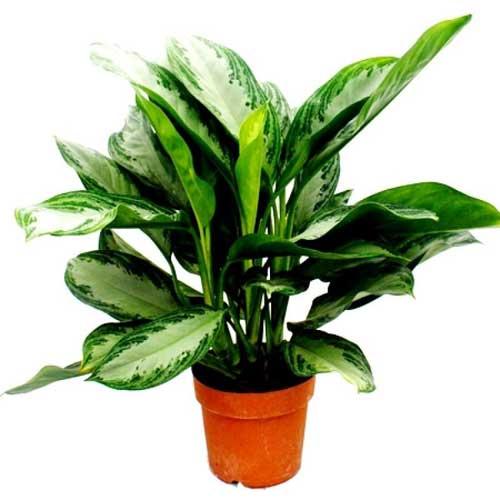 Indoor Plants : Aglaonema