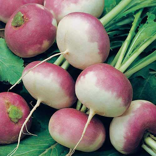 Vegetable Seeds : Turnip