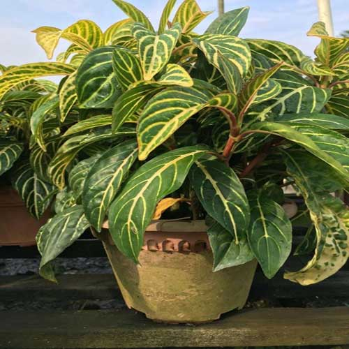 Indoor Plants : Sanchezia