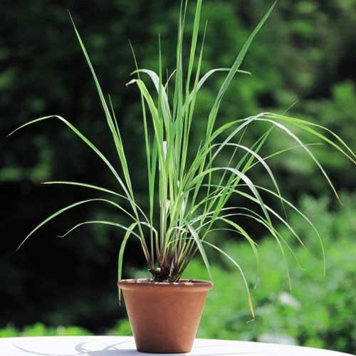 Indoor Plants : Lemon grass