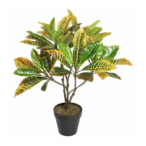 Indoor Plants : Croton