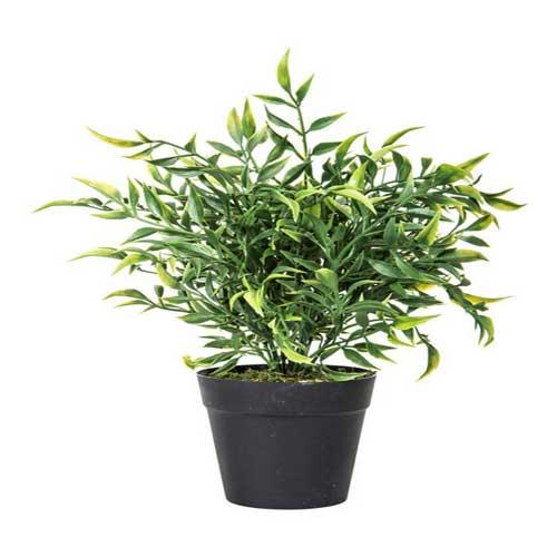 Indoor Plants : Ruscus