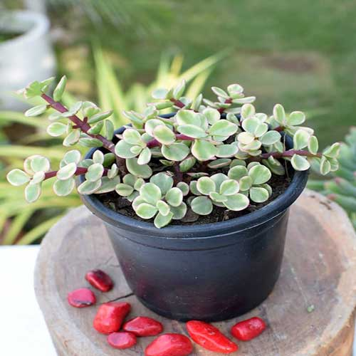 Indoor Plants : Elephant bush