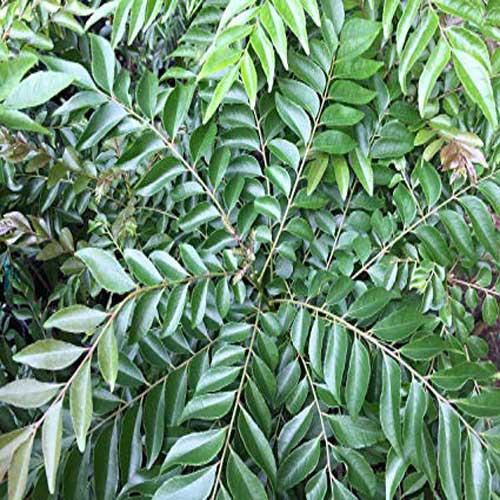 Curry tree,Murraya Koenigii