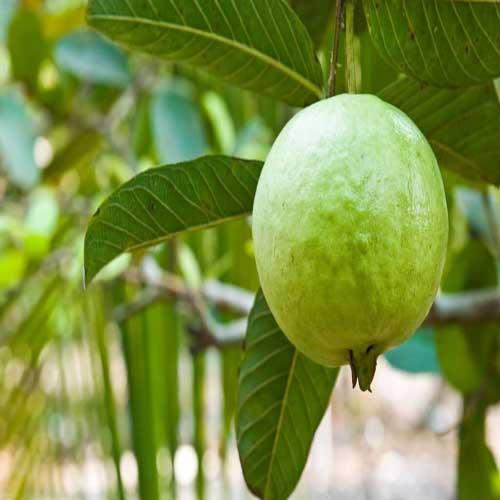 Guava (Amrood)
