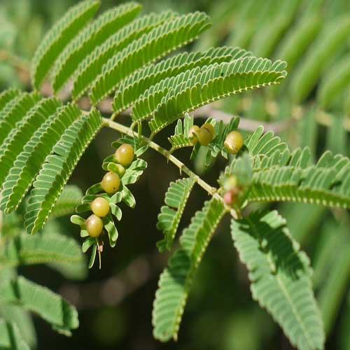 Kikar (Acacia, Babool tree)