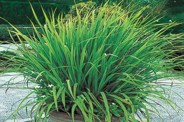 Cultivation and Caring of Lemon Grass
