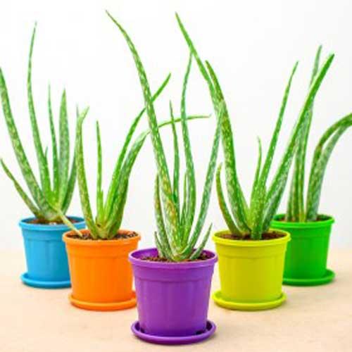Indoor Plants : Medicinal and Natural gifts