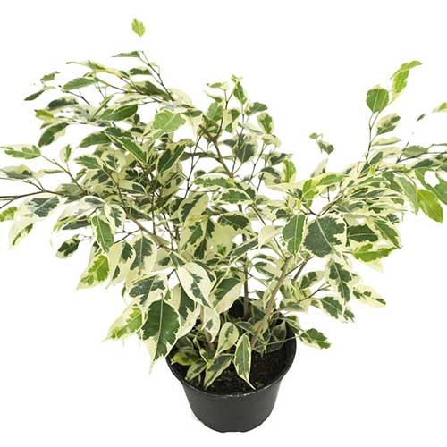 Ficus species