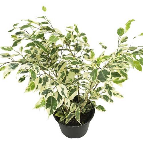 Plantscaping : Ficus species