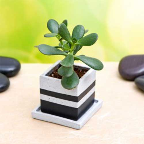 Gifts : Indoor Plants