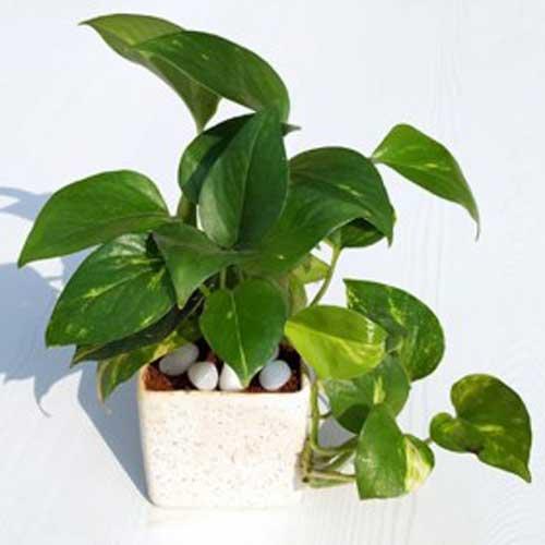 Indoor Plants : Money Plants