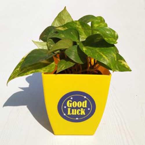 Indoor Plants : Good luck gifts
