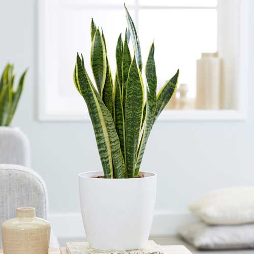 Indoor Plants : Snake plant (sansevieria)
