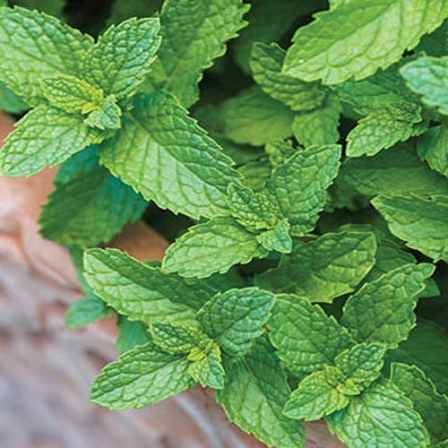 Vegetable Seeds : Mint