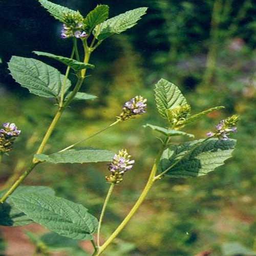 Babchi, Psoralia corylifolia