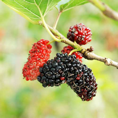 Trees : Mulberry (Shahtoot)