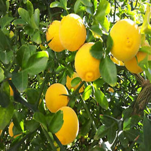 Lemon Shrubs
