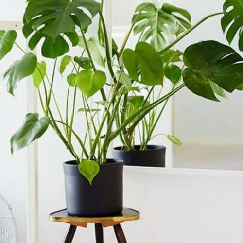 Plants : Indoor Plants